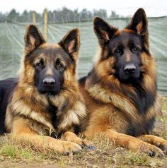 Been obsessing over German Shepards lately