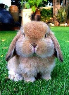 Adorable Animals: Look at this cute bunny! Cute Little Animals, Cute Funny Animals, Adorable Baby Animals, Super Cute Animals, Funny Bunnies, Cute Bunny, Bunny Bunny, Bunny Face, Lop Eared Bunny