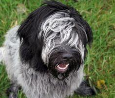Drikus de Does, bijna acht maanden (Dutch Sheepdog, 8 months)