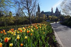 So you want to explore Canada's capital but don't want to break the bank doing so? Then check out these 19 FREE things to do in Ottawa this summer. Ottawa Ontario, Tulip Festival, Visit Canada, Montreal Canada, Travel Oklahoma, Canadian Rockies, Free Things To Do, Death Valley, New York Travel