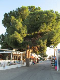 old pine tree in pefkos rhodes x