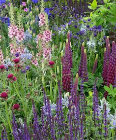Bohemian border with Verbascum, Lupine and Salvia.