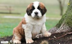Saint Bernard Puppy for Sale in Pennsylvania