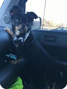 Bellbrook, OH - Chihuahua Mix. Meet Heidi, a dog for adoption. http://www.adoptapet.com/pet/14708418-bellbrook-ohio-chihuahua-mix