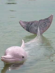 the reason why this dolphin looks pink is because it's blood vessels were tight at birth.