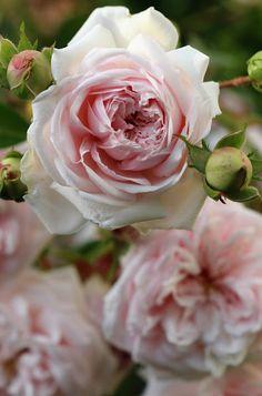 <3 Souvenir de la Malmaison .. old garden rose.
