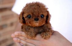 adorable toy poodle.
