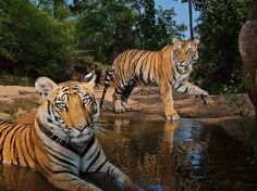 Tiger Picture – Animal Wallpaper - National Geographic Photo of the Day