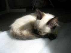 """The smallest feline is a masterpiece."" --Leonardo DaVinci..precious sleeping young siamese kitten"