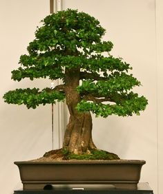 Acerola Malpighia glabra Barbados Cherry. World Bonsai Convention 2009 - A Photo Essay