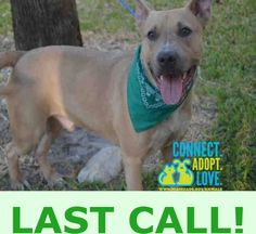 JOSH (A1680670) I am a neutered male fawn and white Terrier mix. The shelter staff think I am about 2 years old and I weigh 56 pounds. I was found as a stray and I am available for adoption. — hier: Miami Dade County Animal Services. https://www.facebook.com/urgentdogsofmiami/photos/pb.191859757515102.-2207520000.1427311829./950462771654793/?type=3&theater