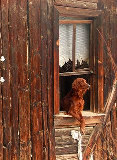 Irish setter in perfect setting! named Princess who was an Irish setter. Baby Dogs, Pet Dogs, Dogs And Puppies, Dog Cat, Love My Dog, Irish Setter, What A Nice Day, Doge, Mans Best Friend