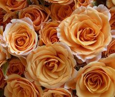 Orange roses: If only I could get some this colour (kinda like orange tea! Orange Tea, Orange Roses, Burnt Orange, Beautiful Roses, Beautiful Flowers, Beautiful Images, Autumn Rose, Just Peachy, Garden Seeds