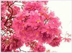 Resultado de imagen para www flores de lapacho