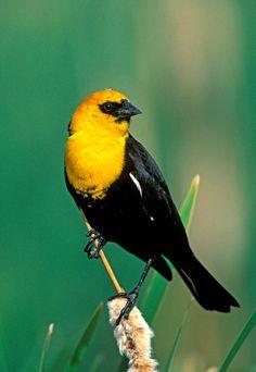 yellow headed blackbird | Yellow-headed Blackbird (Xanthocephalus xanthocephalus)