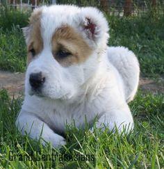 Puppy love Alabai Dog, Mans Best Friend, Best Friends, Young Old, American Staffordshire, Working Dogs, Shepherd Dog, Puppy Love, Baby Animals