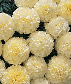 """Marigold, Snowball Hybrid Strong stemmed upright plants grow to 24"""" tall and proudly display full 3"""" globes of the whitest marigold we have ever grown. Can be sown directly in the garden after all chance of frost, or start indoors 6-8 weeks before last frost for earlier bloom. Grow in full sun and space plants 12-14"""" apart in the garden. Tip: Remove spent blooms and fertilize regularly to promote fuller, more robust blooms. lifecycle: Annual Uses: Beds Sun: Full Sun Height: 20-24 inches Spread: 10 inches Sowing Method: Direct Sow/Indoor Sow Bloom Duration: 14 weeks"""