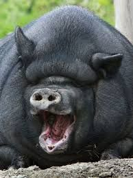 """Create meme """"Giga boar (Giga boar, fat pig, the biggest pig in the world )"""""""", memes created: 23 Cute Funny Animals, Funny Cute, Cute Baby Pigs, Fat Animals, Fat Pig, Laughing Animals, Pot Belly Pigs, Teacup Pigs, Brave"""