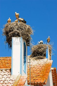 Storks in the nest, Comporta, Alentejo, Portugal