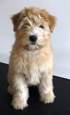 Winnie the Wheaten Terrier; her first bath at 3 months old.