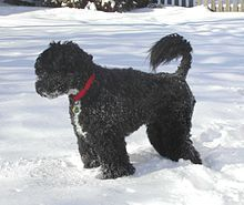 Portuguese Water Dog - A.k.a. Cao de Agua Portugues - Portugal - Taught to herd fish into fishermen's nets, to retrieve lost tackle or broken nets, act as couriers from ship to ship, or ship to shore.