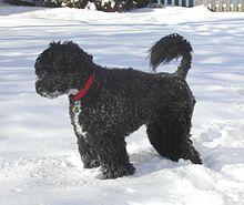 Portuguese Water Dog, portuguese dog breed, Portugal