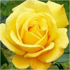 The Most Fragrant Roses for Your Garden Radiant Perfume This grandiflora rose's name says it all! The big, golden-yellow blooms bear a wonderfully intense citrus scent. Thanks to their long stems, the flowers are perfect for cutting and adding sunshine in Ronsard Rose, Fragrant Roses, Bloom, Coming Up Roses, Hybrid Tea Roses, Beautiful Roses, Pretty Flowers, Exotic Flowers, Yellow Flowers