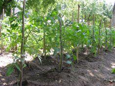 Így vesd most el a paradicsomot, hogy gyönyörű legyen nyáron - Ripost Plants, Plant, Planets