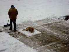 #dog got comfortable in the snow, so human shovels around her