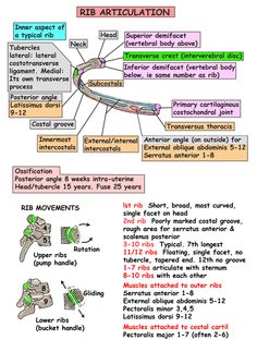 Instant Anatomy - Thorax - Areas/Organs - Ribs - Articulations