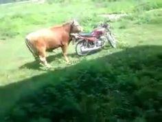buffalo crazy Gak ada rotan akarpun jadi....dasar binatang.