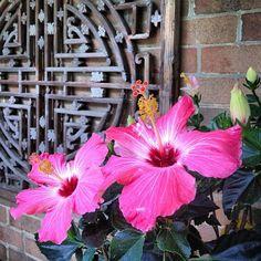 photo by apartmentf15, hibiscus, balcony