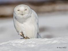 "Word of Snowy Owl: ""Merry Christmas!"" - ww.pbase.com/pelchatd  www.facebook.com/diane.pelchat.94  https://twitter.com/PelchatDiane..."