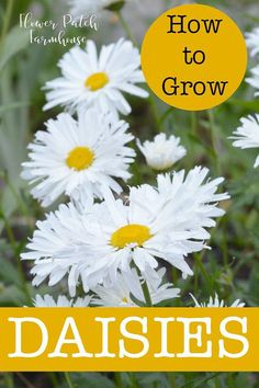 How to Grow Daisies in your cottage garden. An easy, drought tolerant perennial that comes in many shapes, sizes and forms.#cottagegarden #daisies #droughttolerant #easyperennials #smallgardens Garden Shrubs, Diy Garden, Garden Cottage, Garden Plants, Garden Landscaping, Garden Ideas, Landscaping Ideas, Garden Care, House Plants