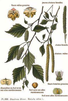 306 Betula alba L - Betula pubescens - Wikipedia, la enciclopedia libre Betula Pendula, Woodland Plants, Kraut, Botanical Illustration, Botanical Prints, Cactus Plants, Planting Flowers, Plant Leaves, Image