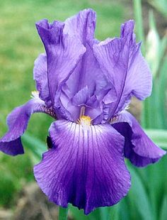I grew up with purple Iris all around the fenceline in our backyard.  For years now, our yard has mauve and light violet Iris.