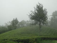 #Tea field on a misty morning in #Nepal. Picture taken by Tealure during tea travel