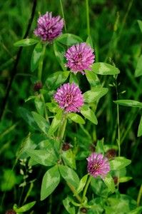 What are the Health Benefits of Red Clover Tea?