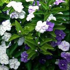 Brunfelsia pauciflora - Yesterday, today and tomorrow 5L