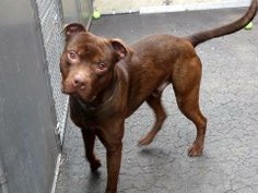 TO BE DESTROYED - SUNDAY - 03/23/14, URGENT - Manhattan Center    PROSPECT - A0994094    MALE, BROWN, PIT BULL MIX, 1 yr  STRAY - STRAY WAIT, NO HOLD  Reason STRAY   Intake condition NONE Intake Date 03/15/2014, From NY 10459, DueOut Date 03/18/2014, I came in with Group/Litter #K14-170865.   https://www.facebook.com/photo.php?fbid=773861009293447&set=a.617938651552351.1073741868.152876678058553&type=3&permPage=1