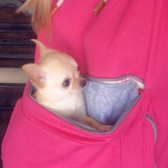 😍🐶 First customer submitted picture loving our new pink Roodie! A big shout out to Tiny Haven Chihuahuas for being such loyal fans of our brand. If you ever want to add an adorable chi to your family, they breed the finest! Get your own pink Roodie here. (Comes in 6 colors). Kangaroo Pouch, Pet Carriers, Chihuahuas, Small Dogs, Fur Babies, North America, Fans, Hoodies, Colors