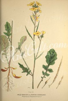 plants-28693 WIld Radish or Jointed Charlock, raphanus raphanistrum  botanical floral botany natural naturalist nature flowers flower beautiful nice flora plants blooming ArtsCult.com Artscult ArtsCult vintage printable public domain 300 dpi commercial use 1800s 1700s 1900s Victorian Edwardian art clipart royalty free digital download picture collection pack paintings scan high qulity illustration old books pages supplies collage wal