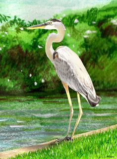 """Crane on the Bayou"" Watercolor and colored pencil by RHChipman Art on ETSY.com Notquitebrimfield."