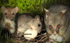 The goal of becoming predator free in 30 years could be hampered by conflicts, inadequate planning and uncertainty, a report warns. Ethical Issues, One Year Ago, Free In, Predator, New Zealand, Literacy, Challenges, Australia, Goals