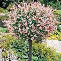 Dappled Willow Tree  A stunning variegated willow tree! One of the most striking ornamental trees! Pretty pink shoots are show-stoppers. Variegated leaves are creamy white and green. Grows 6-8 feet tall. Plant in sun or partial shade. We send 2 1/2 - 4' whips. Zones 4-9.