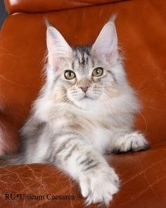Maine Coon with tufted paws. What Cats Can Eat, I Love Cats, Cool Cats, Maine Coon Kittens, Cats And Kittens, Kitty Cats, Siberian Cats For Sale, Cat Site, Cat Drinking