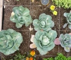 Square foot gardening is a popular method of gardening which allows closer planting of vegetables, herbs and flowers, producing a bigger crop...