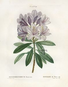 Botanical Drawings   Antique botanical prints from Redoute 1801
