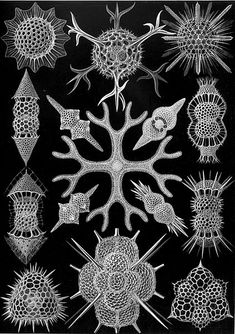 Radiolarians are amoeboid protozoa that produce intricate mineral skeletons. They are found as plankton throughout the ocean, and their shells are important fossils found from the Cambrian onwards. This plate by Ernst Haeckel was one of many he drew of radiolarians, helping to popularize these protists among Victorian parlor microscopists.