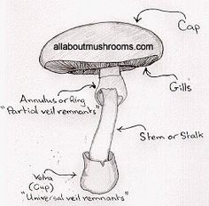 mushroom body structure - mushroom lifecycle - information about mushrooms - mushrooms 101